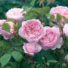 Austin-Rose 'Wisley'