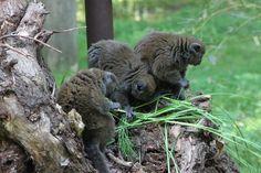 Aloatra bamboemaki (Hapalemur alaotrensis)