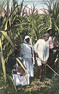Every member of the Indian indentured immigrant family had to work in the cane  fields