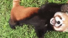 (Red Panda) Play with me please human ! http://ift.tt/2sE6VX1