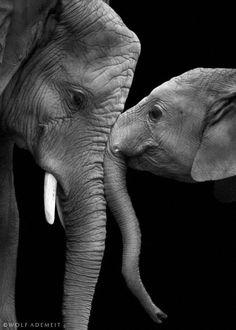 True love | Wolf Ademeit. Elephants