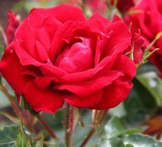 Rosa 'Ruby Anniversary' (Patio Rose)