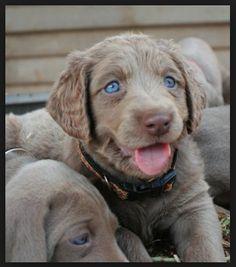 Long haired Weimaraner puppy