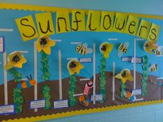 Sunflower Display, classroom display, class display, Plants, flowers, growth, growing, planting, sunflower, Early Years (EYFS), KS1 & KS2 Primary Resources Eyfs Activities, Nursery Activities, Spring Activities, Class Displays, School Displays, Classroom Displays, Sunflower Life Cycle, Early Years Classroom, Preschool Garden
