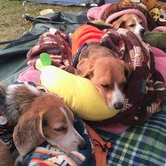 lovely beagles