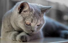 Britse korthaar | Dierenfoto van lexscholten | Zoom.nl