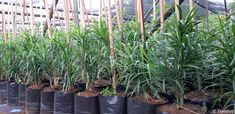 Description, gardening ideas and price of the Small-leaved dragon tree (Kleinblaardrakeboom) which you can buy at Treeshop, Gauteng. Images and specification of Dracaena mannii trees for sale. Unique Trees, Small Trees, African Tree, Dragon Tree, Fast Growing Trees, Clay Soil, Flowering Shrubs, Types Of Soil, Small Gardens