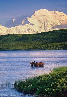 Bull moose feeds in Wonder lake, snow covered mount McKinley in the distance, Denali National Park, Alaska.