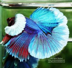 Betta fish OHM Purple Blue Sparkle Dumbo for sale by Nice Betta Thailand High and rare quality with competition grade healthy. Breeding Betta Fish, Fish For Sale, Fish Wallpaper, Beta Fish, Siamese Fighting Fish, Blue Sparkles, Beautiful Fish, Exotic Fish, Colorful Fish