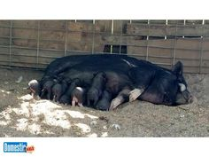 Potbelly Piglets - not Micro or Teacup Potbelly Piglets Lovely Lola Potbelly Pig has 5 Piglets Available 3 girls 2 boys - potbelly piglet babies $150 ea. Black & black with ...