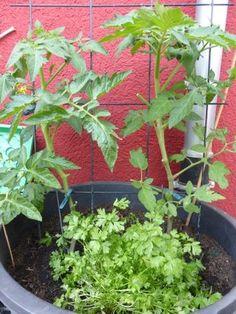 Tomaten Pflanzen im Topf und auf dem Balkon