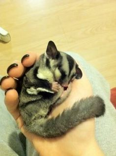 Would you like to know what a sugar glider is eating? Find interesting facts about feeding sugar gliders and taking best care of them. Sugar Glider Baby, Sugar Gliders, Cute Baby Animals, Animals And Pets, Sugar Bears, Hamster, Exotic Pets, Guinea Pigs, Cute Creatures