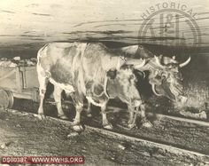 Oxen in mine at Zenith Coal Co Crumpler WV North Fork Branch circa 1905