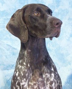 When I was growing up my father had a German Shorthaired Pointer named Dolly that he would take hunting with him.  He use to let the dog run around our yard and every time Dolly saw a bird she would sit and point.  So cute!