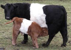 23 Mini Cow Pictures you've never seen before - meowlogy Miniature Cow Breeds, Miniature Cattle, Large Animals, Cute Animals, Wild Animals, Baby Animals, Belgian Blue Cattle, Galloway Cattle, Belted Cow
