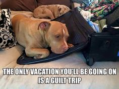 ©Tiffany Bair More #pitbull Funny Animal Memes, Dog Memes, Funny Animal Pictures, Cute Funny Animals, Funny Dogs, Funny Memes, Animal Funnies, Funniest Animals, Hilarious