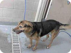 Tacoma, WA - German Shepherd Dog Mix. Meet LADY, a dog for adoption. http://www.adoptapet.com/pet/12687816-tacoma-washington-german-shepherd-dog-mix