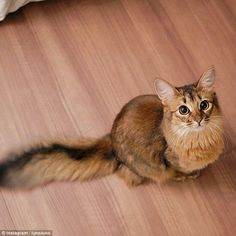 This adorable cat, calledLucina, seemed to have perfected her 'feed me' gaze as she stared longingly up at her owner. The feline, who is a Somali cat, lives in Tokyo and has 26,000 fans following her every Instagram move