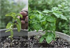 How To: Make your basil plant grow full and bushy instead of tall and sparse by cutting it in the right places.