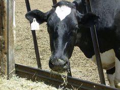 Norwalk Dairy Cow poses