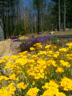 Spring has sprung basket of gold purple bungle weed ground cover