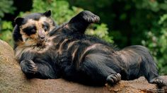 Spectacled Bear #SunKuWriter #Portugal  FREE Books ► http://Sun-Ku.com  ◄