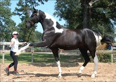 6 yr old Georgian Grande, Baron Von Vendavel, stands at 17.3 hands ~ what a beauty!