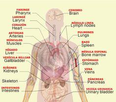 Medical Spanish Terminology    HUMAN BODY DIAGRAM