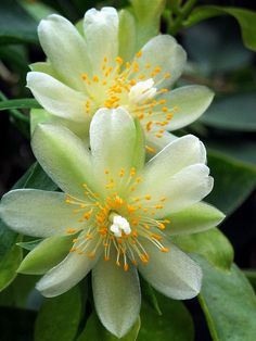 Orchid Cactus (Epiphyllum)