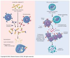 Basic function of adaptive immune system- how antibodies are formed. Science Biology, Medical Science, Science Education, Igcse Biology, Biology Lessons, Medical School, Antigen Presenting Cell, Medical Laboratory Scientist, Immune System
