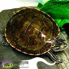 Aquatic turtles for sale online cheap, buy baby aquatic turtles, water turtle breeders near me live turtles for sale and baby freshwater turtle store. Baby Turtles For Sale, Turtle Store, Freshwater Turtles, Slider Turtle, Aquatic Turtles, Turtle Painting, Fresh Water, Shells, Fish