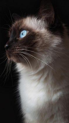 Beautiful cat... when grumpy cat isn't grumpy. hehe~ Cute Animals iPhone Wallpapers - @mobile9 #animals #cat