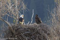 An update on spring wildlife sightings in Jackson Hole, Wyoming. Pictured here, an adult and immature bald eagle in a nest along the Snake River in Jackson Hole. Image by Jason Williams.