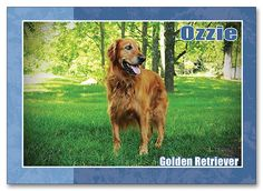 Ozzie Golden Retriever Therapy Dog http://www.customsportscards.com/select.cfm/Custom-Trading-Cards/Pets/