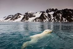 Celebrate 'Polar Bear Day' with these amazing facts  The average life span of a polar bear is 15 to 18 years.