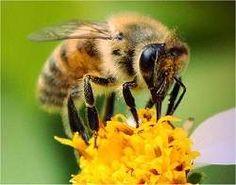 Veneno de abelha pode ser usado para tratar reumatismo