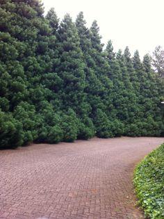 Corredor de pinheiros no Le Jardin - Gramado - RS. Brasil