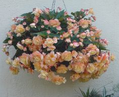 Begonia 'Champagne' - a sumptuous trailing begonia, perfect for hanging baskets or planters