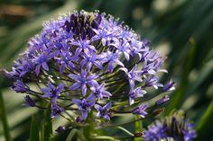 Violet-colored flower