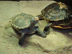 turtle friends #turtle