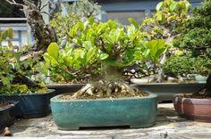 bonsai magnolia - Google Search