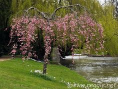 Weeping cherry tree in full bloom with Anemones by the River Cam, Clare College, Cambridge, England