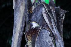 Tree frog on top of banana plant Las Caletas Lodge Caletas Beach, Osa Peninsula Costa Rica #vacation #family #nature #cool