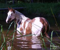 Gorgeous Wild Chestnut Paint Mustang Among the Reeds. American Paint Horse, Painted Pony, All About Horses, Horse Ranch, Horses And Dogs, Most Beautiful Animals, Horse World, All The Pretty Horses, White Horses