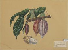 Naturalis_Biodiversity_Center_-_L.0939563_-_Bernecker,_A._-_Theobroma_cacao_-_Artwork.jpeg (1916×1405)