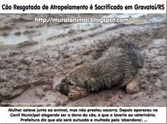 Mural Animal: Cão Resgatado de Atropelamento é Sacrificado em Gravataí/RS