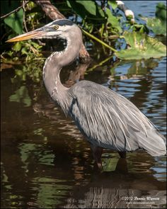 Great Blue Heron stalking in the shallows.