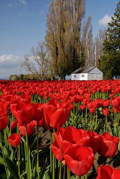 Tulip Field, via Flickr.