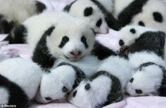 A pile of baby pandas!  14 of the 17 surviving baby pandas born in 2013