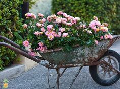 How to Care, Plant, and Prune Drift Roses. Also different colors and Landscape Ideas for Drift Roses using containers, hanging pots and in Landscape Beds. Beautiful Flowers Garden, Beautiful Gardens, Drift Roses, Wheelbarrow Planter, Rose Care, Diy Garden Furniture, Furniture Ideas, Furniture Movers, Pot Jardin